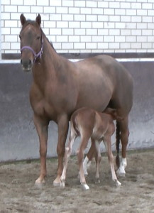 Imprinting Foals - The Horse Forum